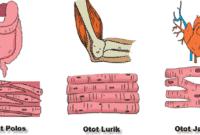 Struktur-Otot