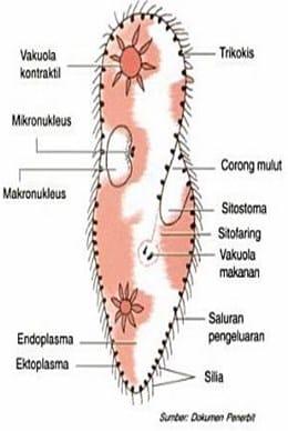 Struktur Tubuh Ciliata
