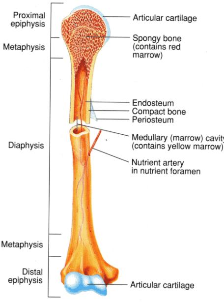 Struktur-tulang-panjang