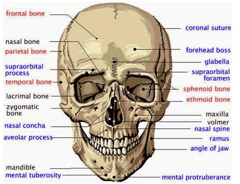 Tulang-kepala