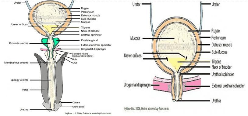 Urethra-pada-pria-dan-wanita