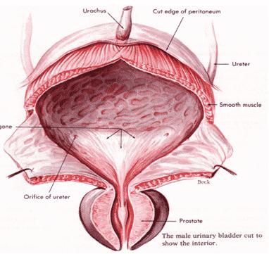 Vesica-urinaria