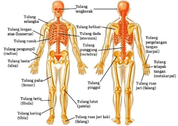 bentuk-tulang