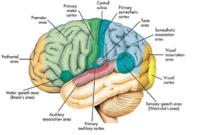 anatomi-otak