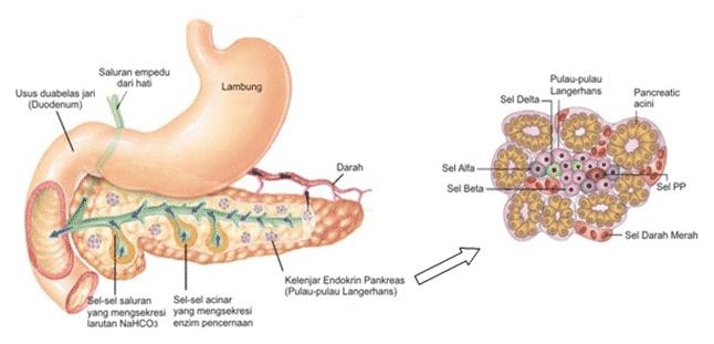 Anatomi-Pankreas