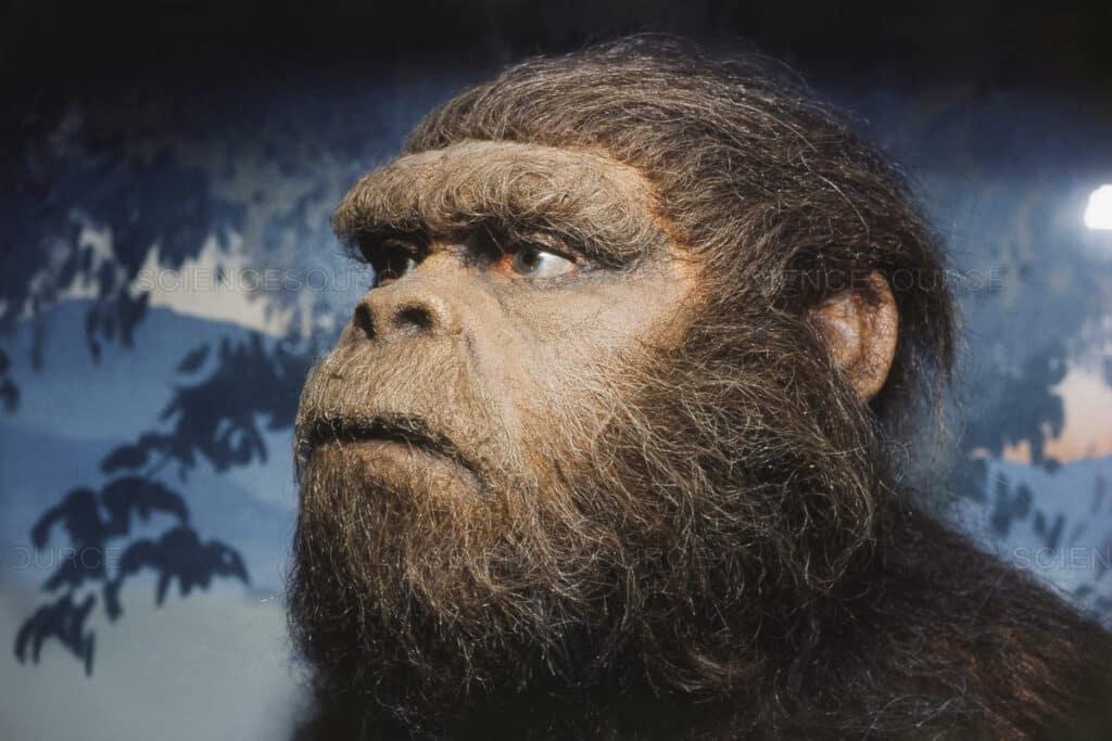 Australopithecus-Robustus