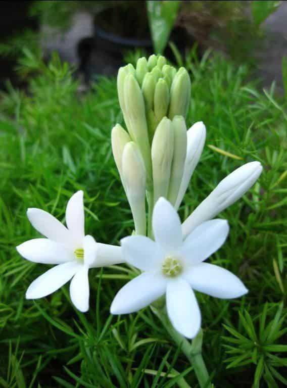 Bunga-Sedap-Malam