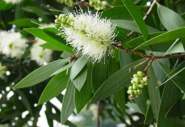 Eucalyptus-(kayu putih)