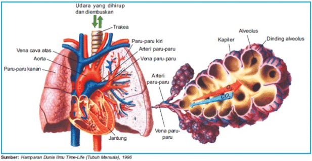 Alveolus Ciri Fungsi Letak Struktur Dan Mekanisme Kerja