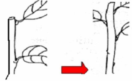 Perbanyakan dengan setek batang
