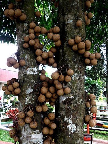 Pohon-Burahol
