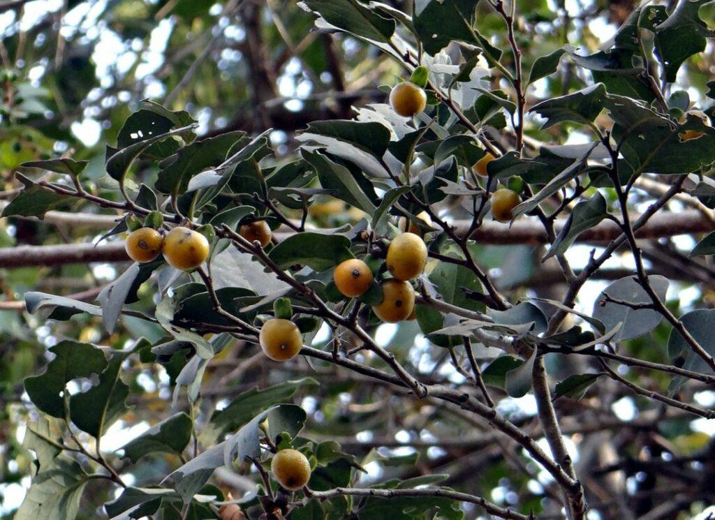 Pohon-Eboni
