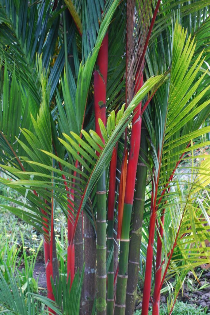 Pohon-Pinang-Merah