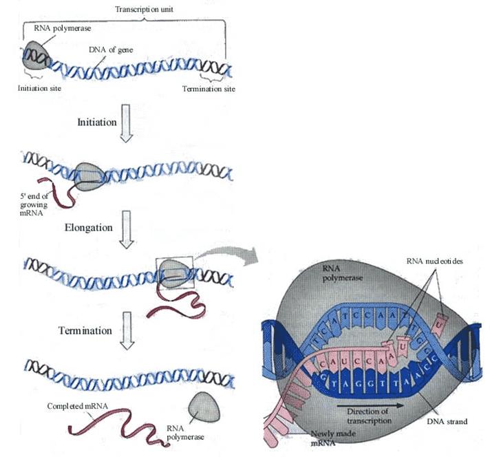 Proses-Sintesa-Protein