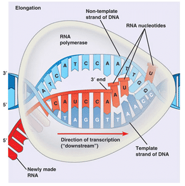 RNA-Polimerase