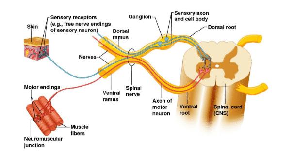 Saraf-Spinal