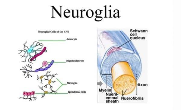 Sel-Neuroglial