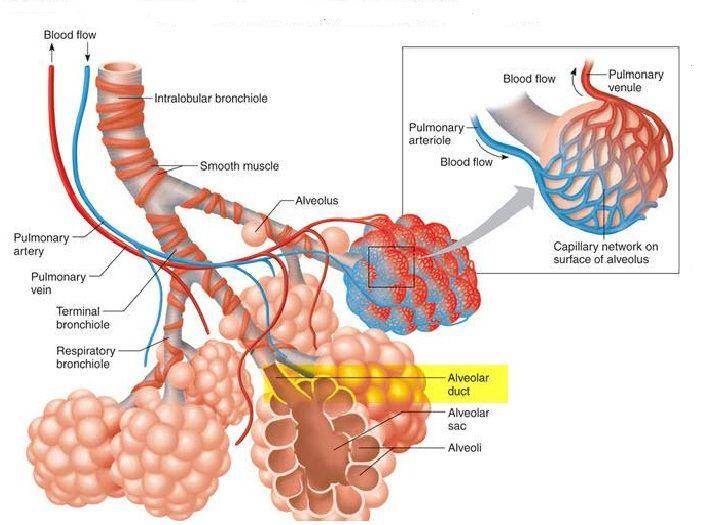 Struktur-Alveolus