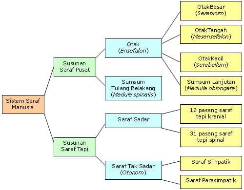 Susunan-Sistem-Saraf