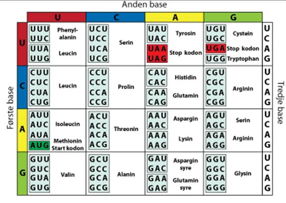 Tabel-susunan-kodon-RNA-dan-asam-amino
