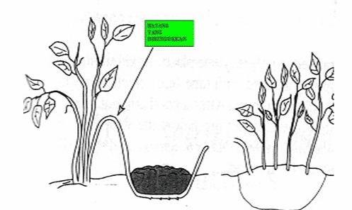 Teknik perbanyakan tanaman dengan runduk