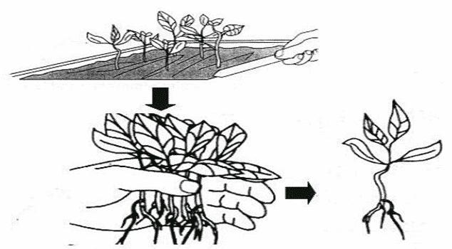 Teknik transplanting