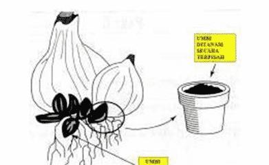 Perbanyakan dengan rizoma