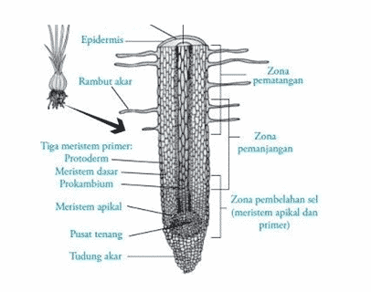 Zona-pertumbuhan-akar-dan-struktur-akar